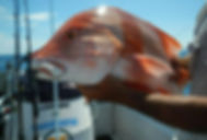 cairns fishing adventures, fishing charters cairns, Queensland, Australia, Red Emperor micro jigging cairns fishing adventures.jp