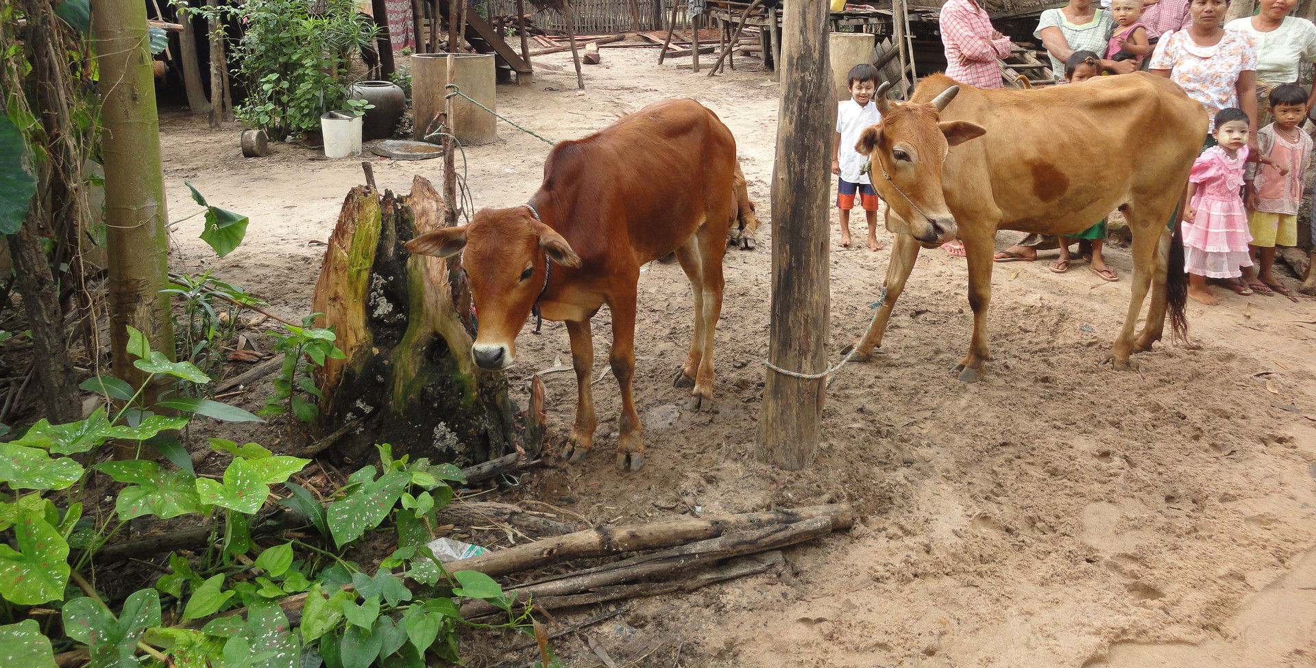 미얀마 카우뱅크 사업 (3).JPG