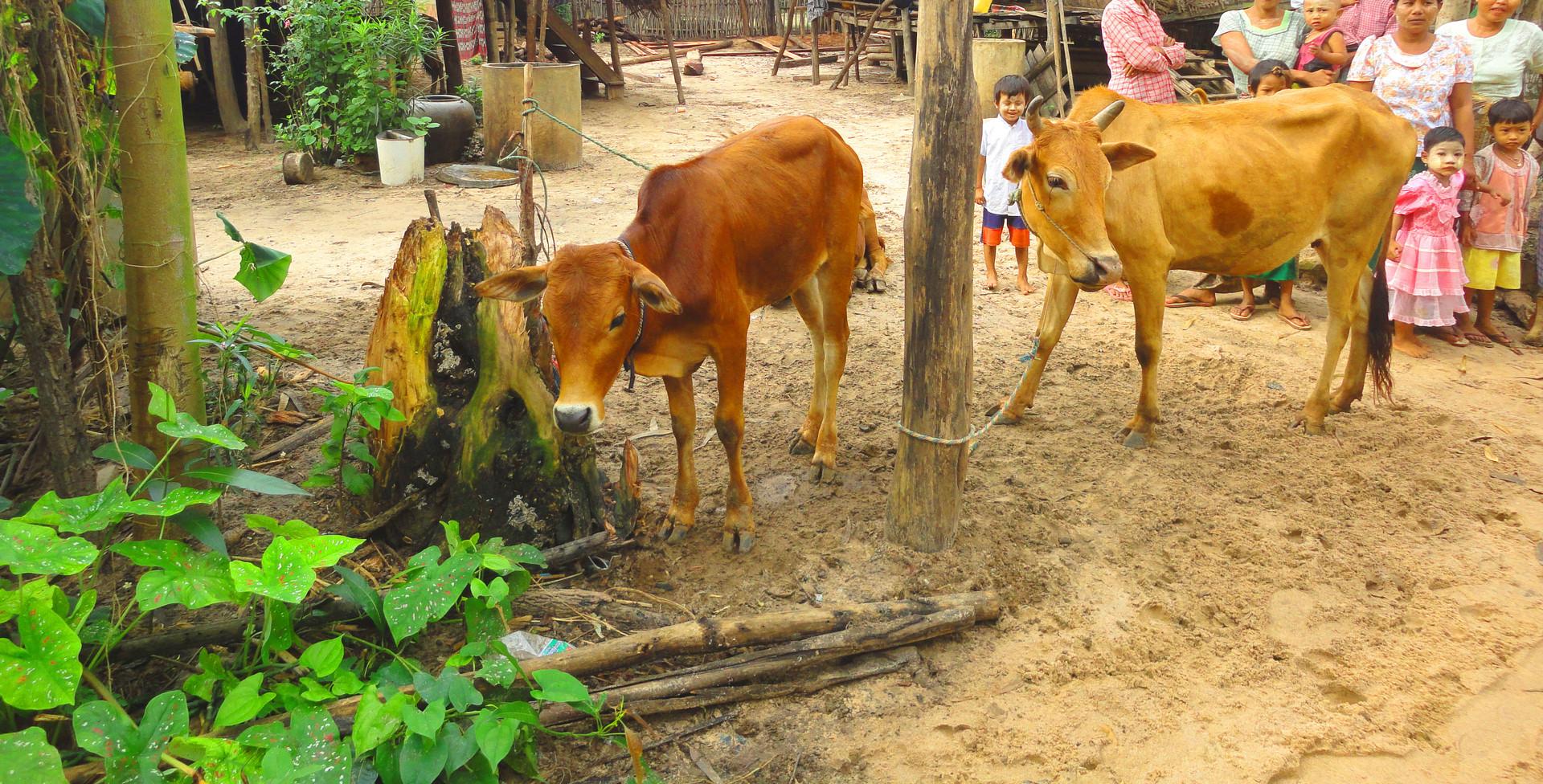 미얀마 카우뱅크 사업 (1).JPG