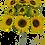 "Thumbnail: 21"" Sunflower Bush x9"