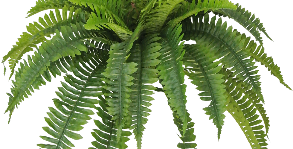 Boston Fern x5 with 48 Leaves