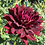 Thumbnail: Hollyhill Black Widow Dahlia