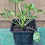 Thumbnail: Premium Ranunculus Nursery Start