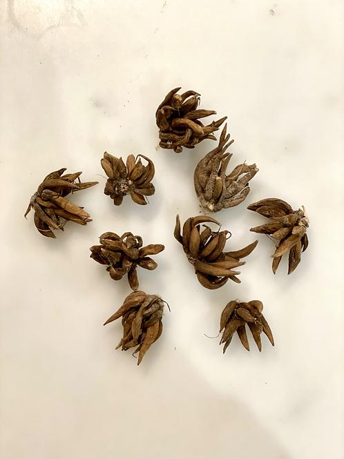 Ranunculus Corms/Bulbs