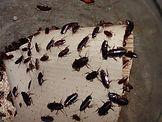 oriental-cockroach-infestation.jpg