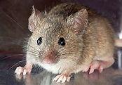 mice ok.jpg