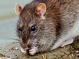 rat 1 home page.jpg