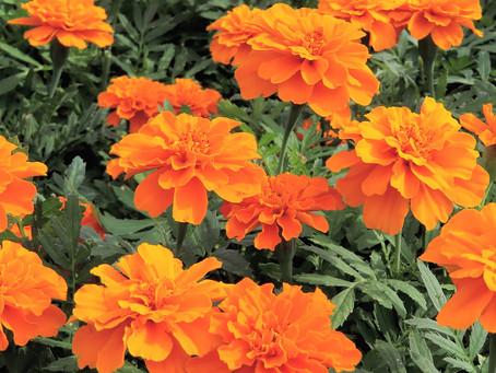 染色の森:マリーゴールドと紅花の草木染め