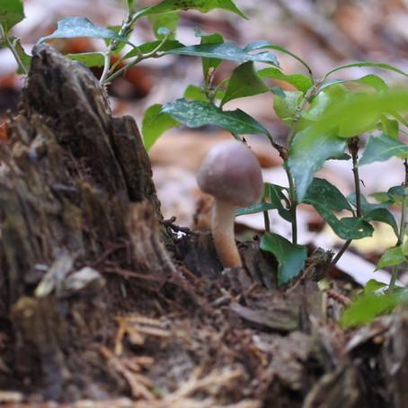 森の学び舎、しいたけの菌うち!