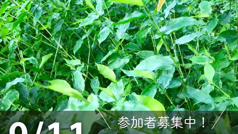 染色の森:コブナグサの草木染め