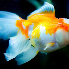 חלמתי שדג שאני שונאת באקווריום שלי מת