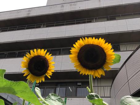 向日葵が咲いてます