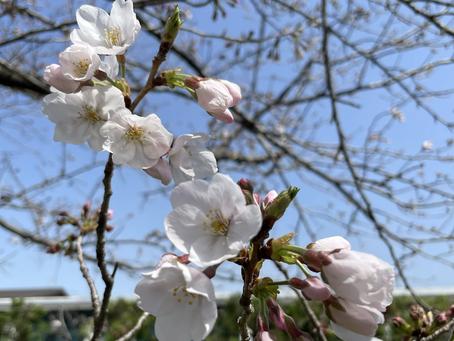 桜‥開花🌸