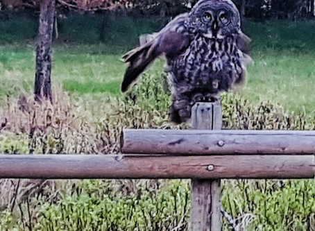 What Does it Mean When You See a Grey Owl?