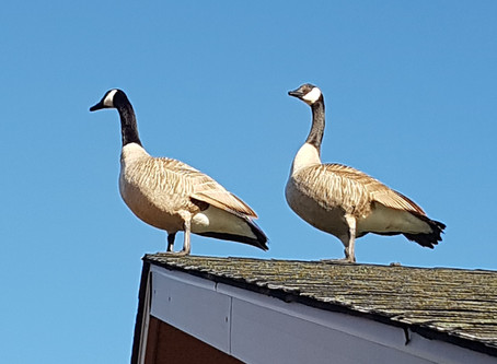Nature Daily - Geese on the Gable