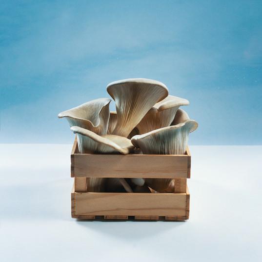 Austernpilze in der Kiste