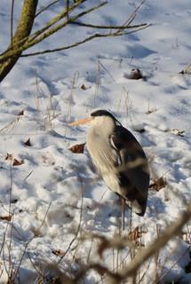 Reiger in de sneeuw