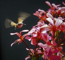 Kolibrievlindertje
