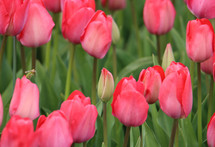 Roze tulp3652