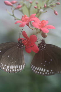 Vlinders_1