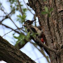 Specht bij nest