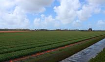 Uitgebloeid tulpenveld