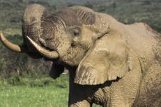 Elephant in Imfolozi