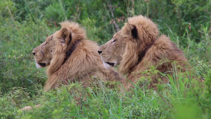 Lions in Hluluwe