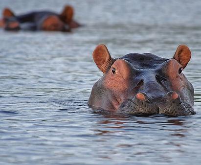 animals-hippopotamus-hippos-46540.jpg