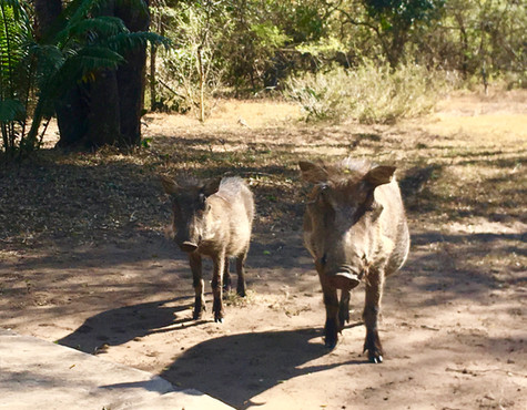 Warthogs in the garden