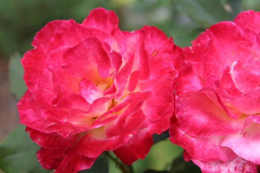 Roses through 3 seasons!