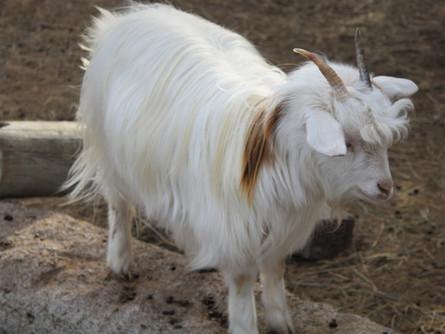 Silky Fainting Goats