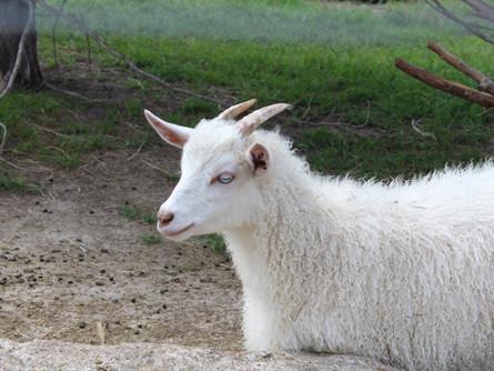 Nigora Goats (F1 & F2)