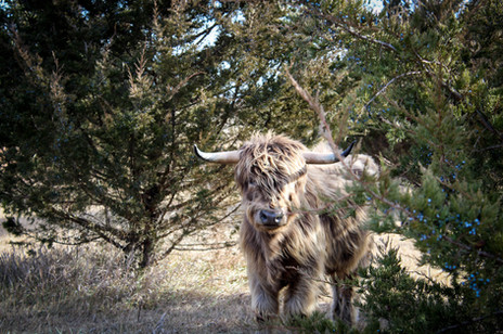 Tarus - Herd Sire