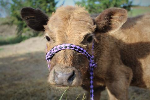 Thor - Highpark Bull Calf