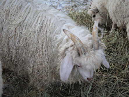 White Angora Goats