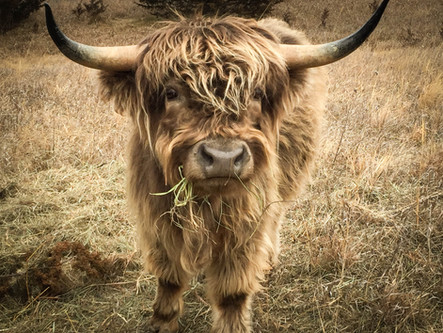 Mini Highland Cattle