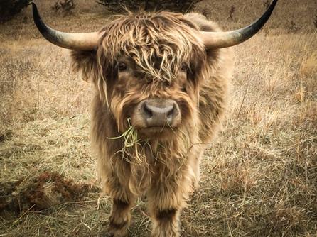 Mini Highland Cattle