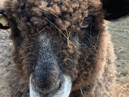 Colored Leicester Longwool Sheep