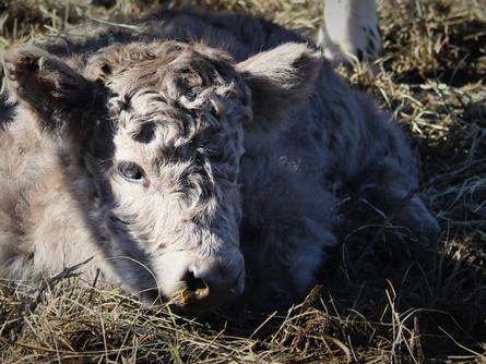 Mini High-Park Cattle