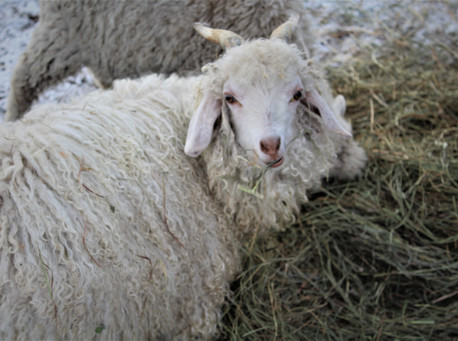 Abel - beore shearing