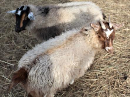 Nigora Goats (F2)