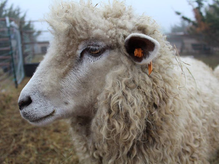 White Leicester Longwool Sheep