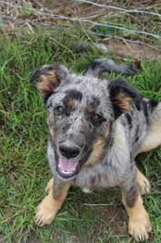 Bandit as a pup