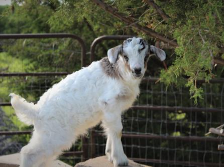 Nigora & Silkora Goats