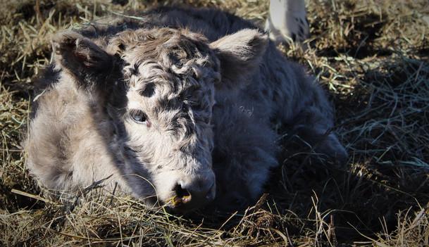 Bo - HighPark Bull Calf