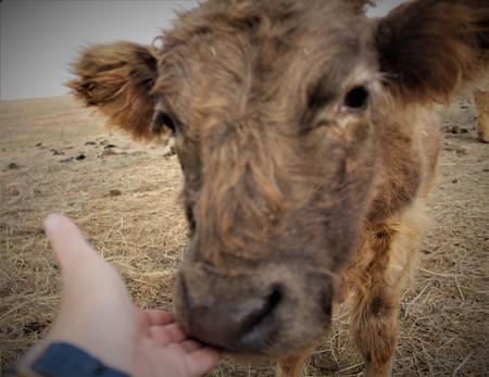 Thor - 1.5 years the sweetest bull calf!