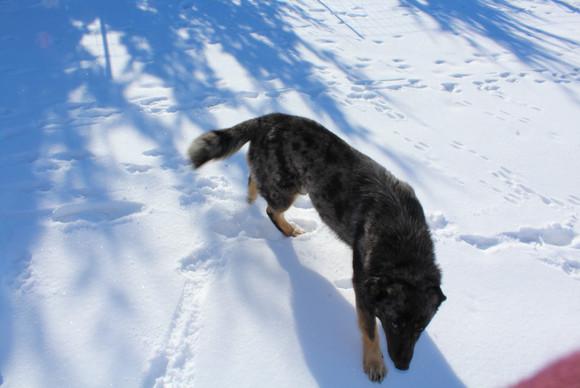Bandit the snow-dog