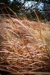 CRP Grass in Fall