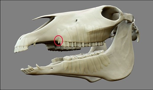 Wolf Tooth Extraction (per tooth)